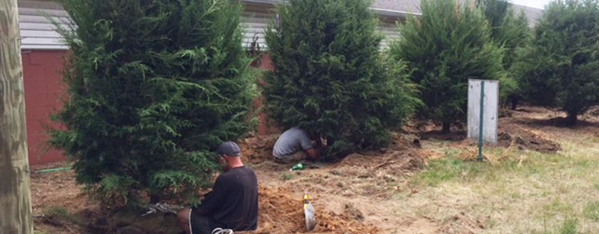 Cedar Tree Planting